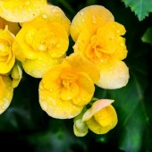 begonia_vered_yellow (1)