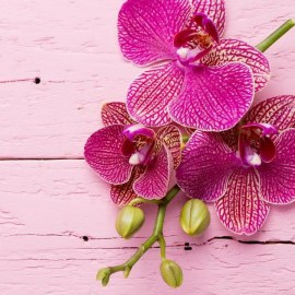 orchid_pink6