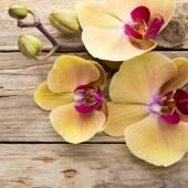 orchid_yellow